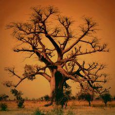 Baobab by Osvaldo Pieroni