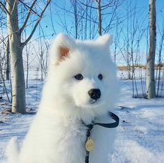 Samoyed: Selling cute is just my sideline - Page 10 of 14 - Gloria Love Pets Cute Funny Animals, Cute Baby Animals, Beautiful Dogs, Animals Beautiful, Samoyed Dogs, Cute Dogs And Puppies, Doggies, Puppies Tips, Tiny Puppies