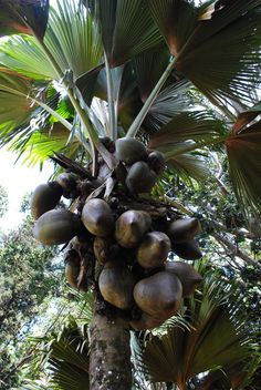 Coco de Mer Palm Tree or Maldive Coconut is a palm endemic to the islands of Praslin and Curieuse in the Seychelles