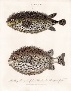 antique print, fish