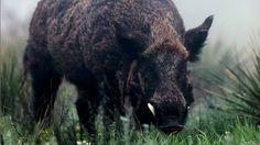 crossbow diy,crossbow accessories,crossbow arrows,survival tips,survival gear Texas Hog Hunting, Bow Hunting Deer, Boar Hunting, Crossbow Hunting, Archery Hunting, Diy Crossbow, Crossbow Arrows, Survival Weapons, Survival Gear