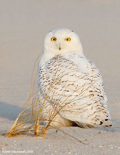 Snowy Owl on the beach, Long Island   Looks like Gigi's painting by Wayne