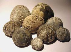 sea urchin fossils