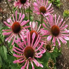 The Echinacea 'All That Jazz' is a splendid new hybrid that pjroduces gorgeous lavender pink flowers that are uniquely quilled. The petals are held on a beautiful orange cone. Plants have a very nice bushy habit and share the same great vigor as the very popular conefloer 'Surise'.