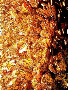 Monarch butterflies wintering in Mexico.