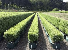 A client asked us for shorter Corokia 'Geenty's Green' hedges. So we cut a few rows in half.