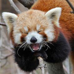My favourite animal: Red Panda