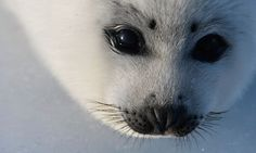 Europe strengthens ban on seal products after WTO challenge | Environment | The Guardian