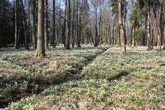 Rezervace v brzkojarním období s masovým výskytem bledule jarní