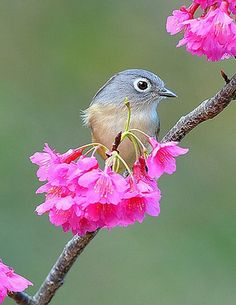 Gray-cheeked Fulvetta (Alcippe morrisonia). Endemic to Taiwan. photo: Robert tdc.