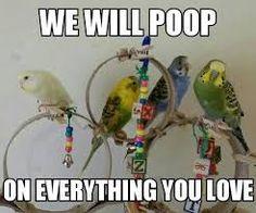 It's a loud loud song. Budgie Parakeet, Cockatiel, Budgies, Movie Z, Senegal Parrot, Tiny Dinosaur, Crazy Bird, Conure, Funny Cute