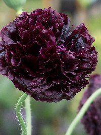 Poppy 'Black Peony'