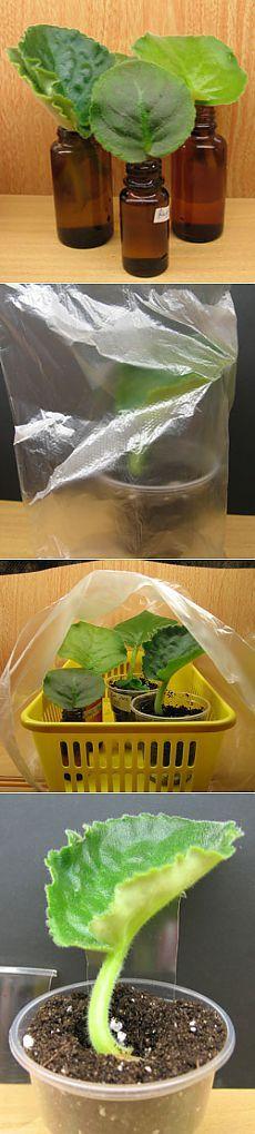 Размножение фиалки: укоренение листа фиалки
