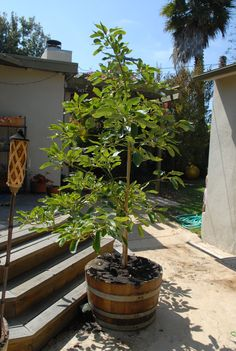Avocado tree... in a wine barrel... how  Californian can one get! ;)