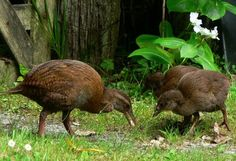 Weka, New Zealand // brown flightless birds, about the size of a chicken, native to NZ // they eat worms, leaves, berries, weta (see related pin!), frogs, spiders, etc. // weka are a vulnerable species due to hunting by ferrets, dogs, cats, and stoats, which were unknown before humans came