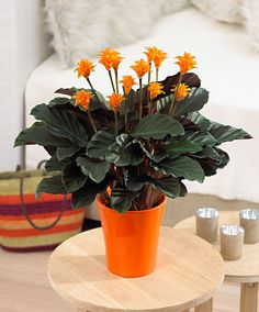 Calathea crocata  Native of tropical Brazil and a member of the Maranta family. Magnificently coloured foliage and striking orange flowers. It likes light but not bright sunshine. The flowers last for 6-8 weeks. Height supplied 35-40 cm. Pot not included.
