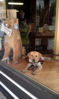 How much is that doggy in the window? Autism Service Dog in training Cody is adorable. www.pawsitivesolutions.org