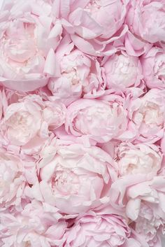 Peonies Discover Peony Photography - Pink Peony Bed French Peony Fine Art Photograph Gallery Wall Blush Pink Floral Decor Large Wall Art Home Decor Peony Photography Pink Peony Bed French Peony Fine Art Peonies And Hydrangeas, Pink Peonies, Pink Flowers, Peonies Garden, Peonies Bouquet, Exotic Flowers, Yellow Roses, Flowers Garden, Ranunculus Flowers