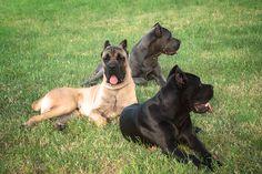 Cane Corso Dogs Italian Cane Corso, Cane Corso Italian Mastiff, Cane Corso Mastiff, Best Dog Breeds, Best Dogs, Cane Corso Dog Breed, Italian Dogs, Dog Facts, Service Dogs