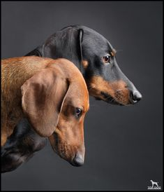 My grandmother had a wiener dog.  I love hounds of all sizes - adorable!