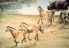Dinohippus (Terrible horse) was endemic to North America from the late Hemphillian stage of the Miocene through the Zanclean stage of the Pliocene (10.3—3.6 mya) and in existence for approximately 6.7 million years. Detail of the Ashfall Fossil Beds mural by Mark Marcuson. University of Nebraska.