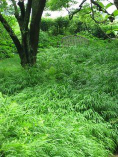 Hakonchloa macra - Hakone grass (Japanese forest grass)FERNS around Austrian pines