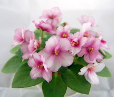 Jolly Mischief (H. Flora Flowers, Pretty In Pink, Beautiful Flowers, Bonsai, Perennial Flowering Plants, Saintpaulia, Sweet Violets, Flower Pictures, Pansies