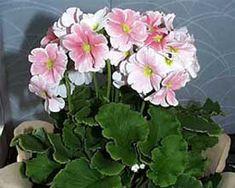 Prímula, Primavera - Primula obconica