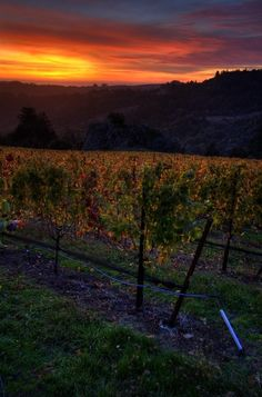 sunset over vineyards