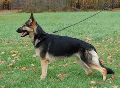 It is very important to keep your dog thin!  German Shepherd Dogs should be fit and trim.    http://www.examiner.com/article/the-importance-of-keeping-your-gsd-thin