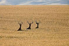 mule deer in what field