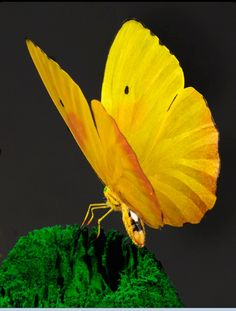 Yellow butterfly  #ghdcandy #yellow