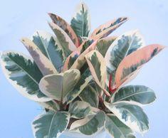 ficus elastica tineke. rubber plant.