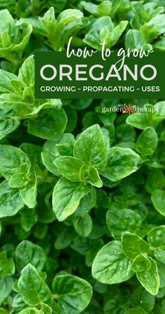 Growing oregano gives you access to an herb there are countless uses for. This herb is easy to grow and offers a bounty of health benefits that every gardener can take advantage of. Heres everything you need to know about how to grow and use oregano! Oregano Plant, Organic Gardening, Gardening Tips, Arizona Gardening, Sustainable Gardening, Urban Gardening, Indoor Gardening, Permaculture, Backyard Farming