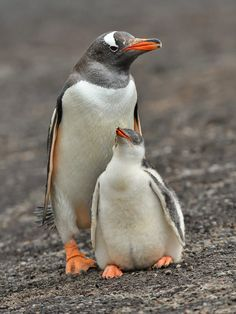 A Gentoo Penguin and his chick. The Neck, Saunders Island, Falkland Islands.