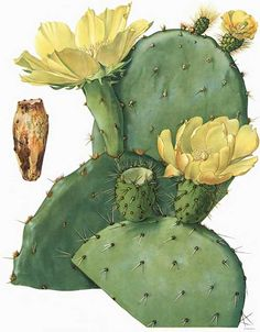 Opuntia leptocarpa. The painting is by Mary Emily Eaton (1873-1961) and the lithography is by A. Hoen & Co of Baltimore. It appears in Cactaceae: Descriptions and Illustrations of Plants of the Cactus Family, published by the Carnegie Institute between 1919 and 1923.