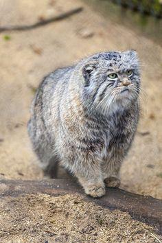 Ten Amazing Small Wild Cats | Science | Smithsonian - Pallas' Cat - (harlie Harding/Robert Harding World Imagery/Corbis)