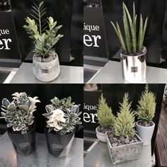 #thursday  #daily  #cactus  #gardening  #garden  #plants  #aubeflower  #flower  #flowers  #flowershop  #today . 개인적으로 실버 골드 블랙 등 무채색을 좋아해서 내 취향이 식물에도 반영이 되서 식재하고있어요.여러개 더있었는데 사진찍을새없이 입양보내거나 예약중인거 빼고 남은 아이들로만 업로드해요. . 미세먼지나 나쁜 공기속 유해물질을 차단하고 공기정화를 해주면서도 싱그러운 향이 솔솔 나는 여러모로 착한 식물들 심플하고 세련된 인테리어에도 도움이 될  #화분 키워보세요. 잘 죽지않고 튼튼한 아이들로 식재했습니다 -담주중으로 선인장/다육이가 샵에 들어와요 .  #식물 #목요일 #오브플라워 #일상 #가드닝 #가든 #인테리어 #저녁 #꽃집 #평택 #평택꽃집 #일상 #선물 #송탄 #안성 #공도 #선인장 #다육이 by aubeflower_jangaeri
