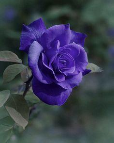 Beautiful Rose Flowers, Art Flowers, Flower Art, Most Beautiful, Purple Love, My Favorite Things, Spring, Garden, Plants