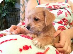 Trenton, NJ - Shih Tzu/Pomeranian Mix. Meet Yuri, a puppy for adoption. http://www.adoptapet.com/pet/12470554-trenton-new-jersey-shih-tzu-mix