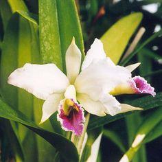 Cattleya percevaliana