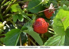 strawberry red - stock photo