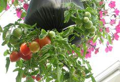 Helytakarékos kertben fejjel lefelé nőnek a zöldségek | Hobbikert.hu