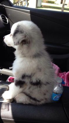 Mini australian shepherd puppy sitting in a cup holder it fits in a cup holder 😂😂😂😭😍 Super Cute Animals, Cute Little Animals, Cute Funny Animals, Baby Animals Pictures, Cute Animal Pictures, Animals And Pets, Cute Baby Dogs, Cute Dogs And Puppies, Adorable Puppies