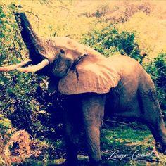 Diary: More Safari Fun the elephant says its lunch time!the elephant says its lunch time! Cute Baby Animals, Funny Animals, Wild Animals, Beautiful Creatures, Animals Beautiful, Elephants Never Forget, Elephant Love, Happy Elephant, African Elephant