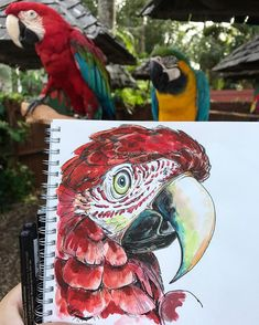 Portrait of Andy the green wing macaw. Sitting next to his buddy Houdini at @sarasotajunglegardens it's amazing to me that just a few months ago I wouldn't have noticed the difference in beak shapes of macaws of different types. Always learning! #sarasotajunglegardens #illustration #ornithology #birds #birdsofinstagram #parrot #parrots #beaks #greenwing #macaw #greenwingmacaw #parrotsofinstagram #parrots_life #scarlet #birdie #clever #watercolor #sketching #animals #animalillustration
