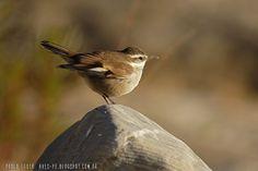 mis fotos de aves: Cinclodes albiventris Remolinera andina Cream-wing...