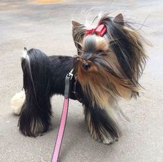 """The Yorkshire Terrier or """"Yorkie"""" is the most popular pet in the U. of the toy dogs, and it's not Continue reading Yorky Terrier, Yorshire Terrier, Perros Yorkshire Terrier, Yorkshire Terrier Haircut, Yorkie Cuts, Yorkie Hairstyles, Top Dog Breeds, Yorkie Puppy, Poodle Puppies"""