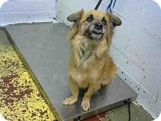 LOUIE - URGENT - Fulton County Animal Services, Atlanta, GA - ADOPT OR FOSTER - Adult Neutered Male Chihuahua