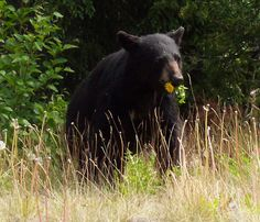 I spotted this bear beside the road as I was driving from Skagway to Whitehorse, Yukon Territory. I love the flower in his mouth. Yukon Territory, African Animals, Black Bear, Exotic Pets, Adventure Travel, Alaska, Canada, Flower, American Black Bear